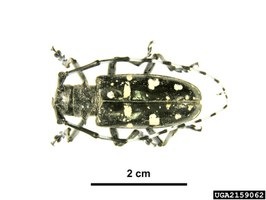 Pinned ALB adult: Pest and Diseases Image Library_Bugwood
