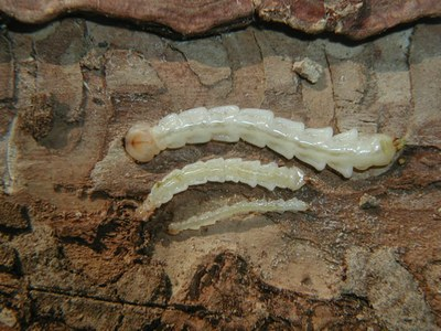 EAB Larval Stages