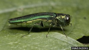 EAB adult on a leaf: David Cappaert, Michigan State University, Bugwood