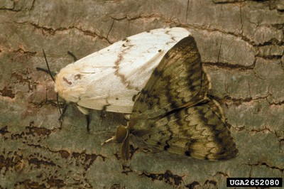 Gypsy Moth Adults