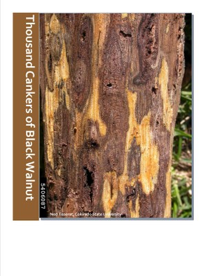 Thousand Cankers Disease of Black Walnut