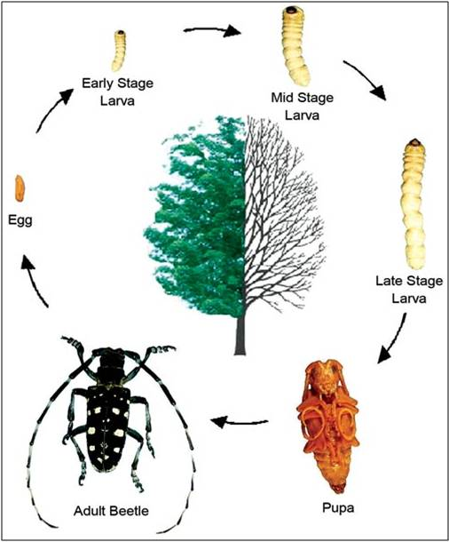 Beetle Reproduction ALB Life Cycle Picture