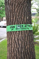 ASH TREE AT RISK flagging tied on a green ash tree in Fargo, ND