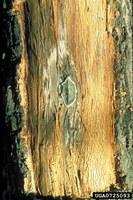 Oak wilt:John N. Gibbs, Forestry Commission, Bugwood.org